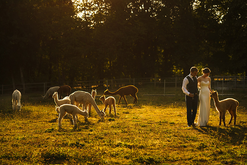 Greeting the alpacas