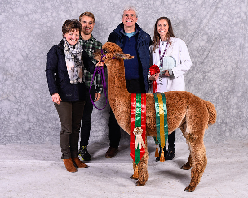 Pinnacle Maverick Supreme Champion Alpaca