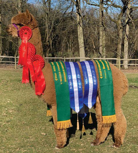 Alpaca Stud Males: Pinnacle Endurance