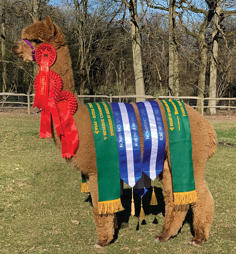 Alpaca Stud Males: Pinnacle Endurance